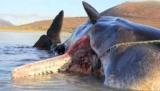 'Жахливі' знайти у викинутих на берег китів