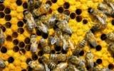 Із звичайних бджіл зробили вбивць