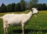 Кози воліють щасливих людей