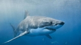 Єдине, кіношники не зможу дізнатися великих білих акул